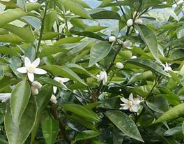 すだちの木に咲いている白い花
