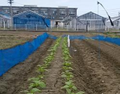センター石井でザーサイを栽培している畑を記載した写真です。