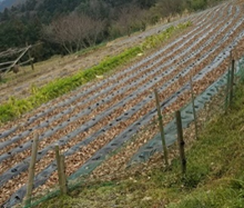 傾斜地で栽培をしている風景の写真