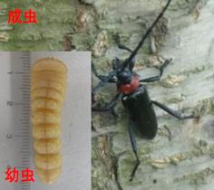 クビアカツヤカミキリの幼虫と成虫の写真