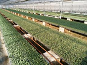 ブロッコリーの品種、恵麟の苗が沢山並んだ様子を記載した画像です。