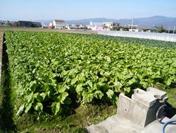 ザーサイが植えられている農家の平田さんの畑の写真です。