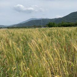 徳島県産パスタ用小麦 東京へ