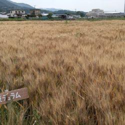 徳島県産パスタ用小麦「阿波デュラム」の収穫及び首都圏での県産食材PRについて